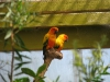 Попугаи Sun Conure