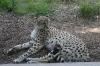 Гепард в зрелости
