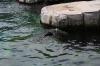 Морской котик