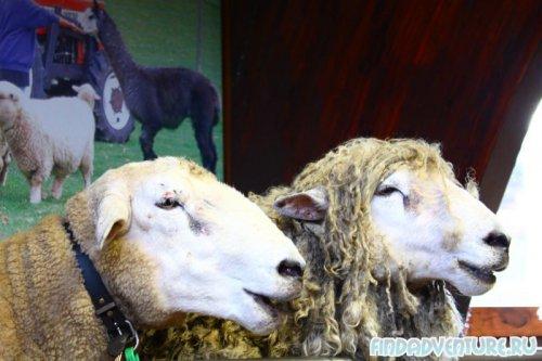 Овцы три