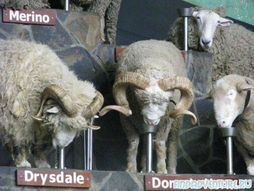 Подиум и овцы