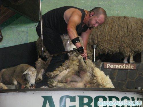 Стригут овечку