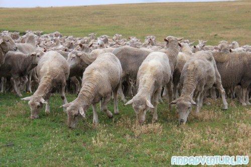 Перекус у овец