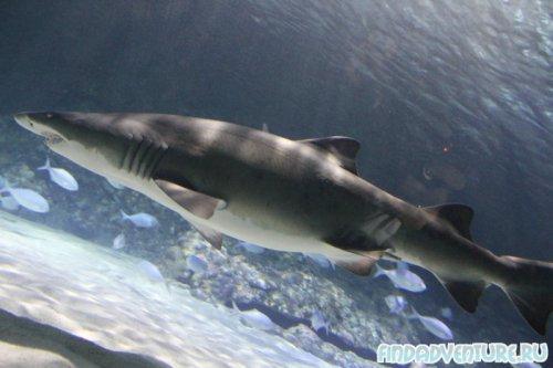 Акула раз