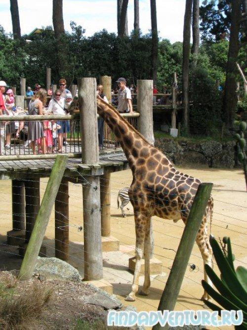 Папа-жираф